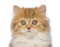 Close-up of a British Longhair kitten, 2 months old, looking at the camera. In front of white background Stock Photos