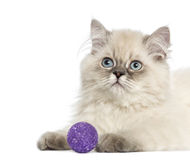 Close up of a British Longhair kitten with purple ball, 5 months. Old, isolated on white Royalty Free Stock Photos