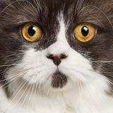 Close up of a British longhair looking at camera Royalty Free Stock Image