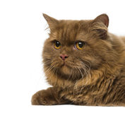 Close-up of a British Longhair (1 year old). Isolated on white Royalty Free Stock Image