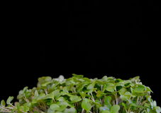 Close up of British Salad Cress Against a Black Background Royalty Free Stock Photo