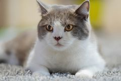 Cat is lying on a carpet. Close-up of British short hair cat lying on a carpet royalty free stock image