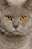 Close up of a british shorthair (10 months old) Royalty Free Stock Photos