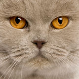 Close up of a british shorthair (4 years old) Royalty Free Stock Photography