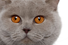 Close up of a british shorthair (4 years old) Stock Images