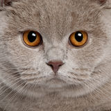 Close up of a british shorthair (9 months old). In front of a white background Stock Images