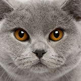 Close-up of British Shorthair Cat Royalty Free Stock Image