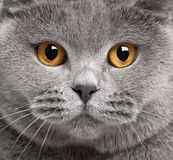 Close-up of British Shorthair cat Stock Photography