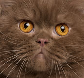 Close-up of British shorthair cat, 2 years old Stock Photo