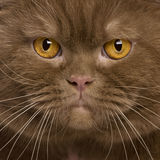 Close-up of British shorthair cat, 2 years old Royalty Free Stock Image
