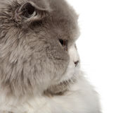 Close up of British Shorthair cat, 6 months old Royalty Free Stock Images