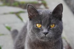 Close up of British shorthair cat en face royalty free stock photos