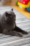 Close up of british shorthair cat at home Stock Photos