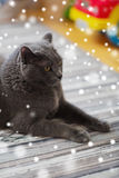 Close up of british shorthair cat at home Royalty Free Stock Image