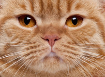Close-up of British Shorthair cat's face Royalty Free Stock Images