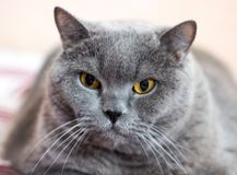 Close-up of British Shorthair cat, 8 years old stock image