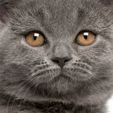 Close-up of British Shorthair kitten Stock Photo