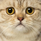 Close-up of a British Shorthair Royalty Free Stock Photos