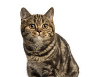 Close-up of a British Shorthair looking up isolated on white Royalty Free Stock Image