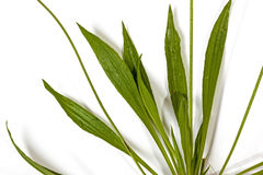 Close up of Broad Green Leaves of Wild Grass Stock Images