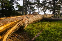 Close-up of a broken tree. After storm Royalty Free Stock Photo