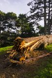 Close-up of a broken tree. After storm Royalty Free Stock Photos