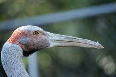Brolga. This is a close up of a brolga Stock Images