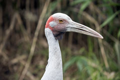 Brolga. This is a close up of a brolga Royalty Free Stock Photography
