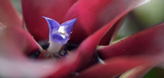 Close-up of bromeliad in bloom Royalty Free Stock Images
