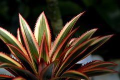 Close up of Bromeliad plants in garden Stock Photo