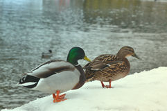 Close up broun duck and emerald green drake. Two wild mallard ducks standing on pier covered with snow near river. Wild nature lif Royalty Free Stock Image