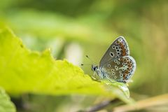 Brown argus butterfly, Aricia agestis perched Royalty Free Stock Image