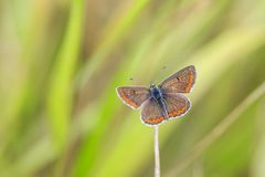 Closeup of a brown argus butterfly, Aricia agestis rsting in a m Stock Photo