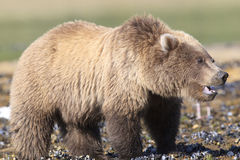 Close-up brown bear cub with clam in mouth Royalty Free Stock Photos