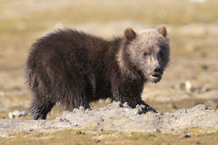 Close-up of brown bear cub Royalty Free Stock Photography