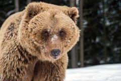 Brown bear portrait. Close up brown bear portrait Stock Image
