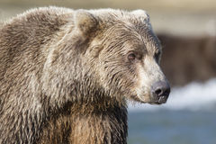 Close-up of Brown bear Royalty Free Stock Photo
