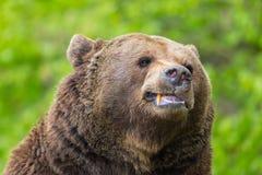 Close-up brown bear Ursus arctos showing teeth. Close-up natural brown bear Ursus arctos showing teeth stock images