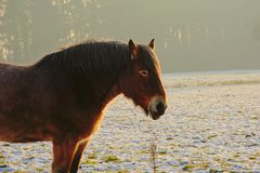 Close up of brown belgian heavy horse standing in winter meadow with snow. Animal portrait of brown belgian heavy horse standing in a meadow with snow in Royalty Free Stock Photos