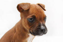 Close up of a Brown Boxer Puppy Stock Photo