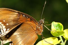 Close up brown butterfly. In garden ,thailand, moth, profile, closeup, owl-butterfly, tongue, natural, vibrant, tropical, white, memnon, eye-spot, yellow, spots stock photo