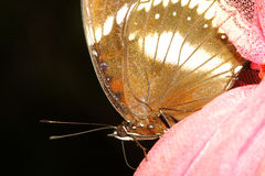 close up brown butterfly Royalty Free Stock Photos