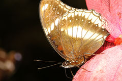 close up brown butterfly Royalty Free Stock Photo