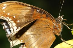 Close up brown butterfly. In garden ,thailand, moth, profile, closeup, owl-butterfly, tongue, natural, vibrant, tropical, white, memnon, eye-spot, yellow, spots royalty free stock image