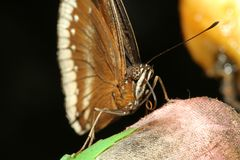 Close up brown butterfly. In garden ,thailand, moth, profile, closeup, owl-butterfly, tongue, natural, vibrant, tropical, white, memnon, eye-spot, yellow, spots royalty free stock photos