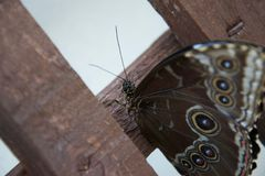 Close up of brown butterfly with many beautiful decorative eyes stock photo
