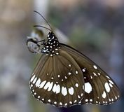 Close Up Of Brown Butterfly With White Markings. Close up macro image of beautiful brown butterfly with white markings on a branch.  Excellent facial details Royalty Free Stock Photography