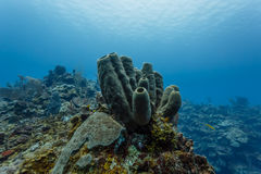 Close-up of Brown Clustered Tube Sponges growing on the coral reef in Belize Stock Photo