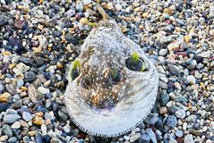 Close-up of a brown colored blown pufferfish at the shore royalty free stock image