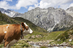 Close-up of brown cow in Austrian/Italian Alps. Stock Photos